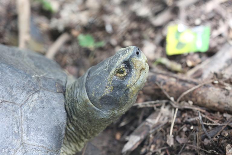 Tortoise in Cambodia