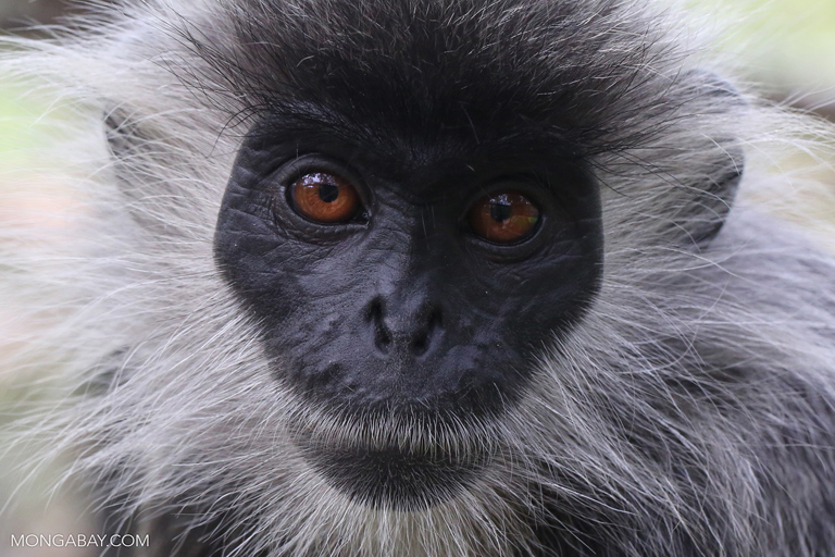 Indochinese lutung