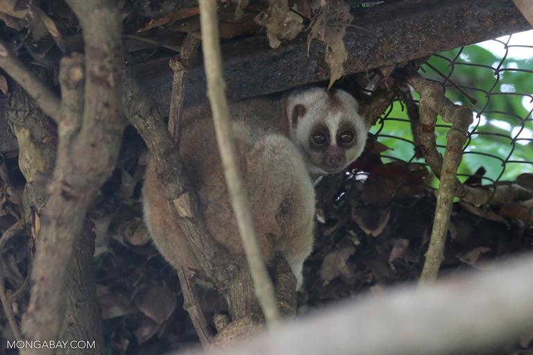Rescued slow loris