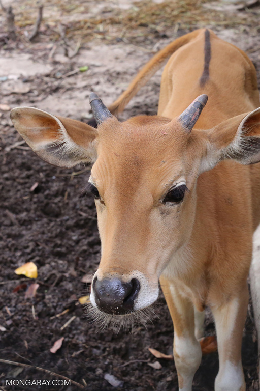 Banteng calf