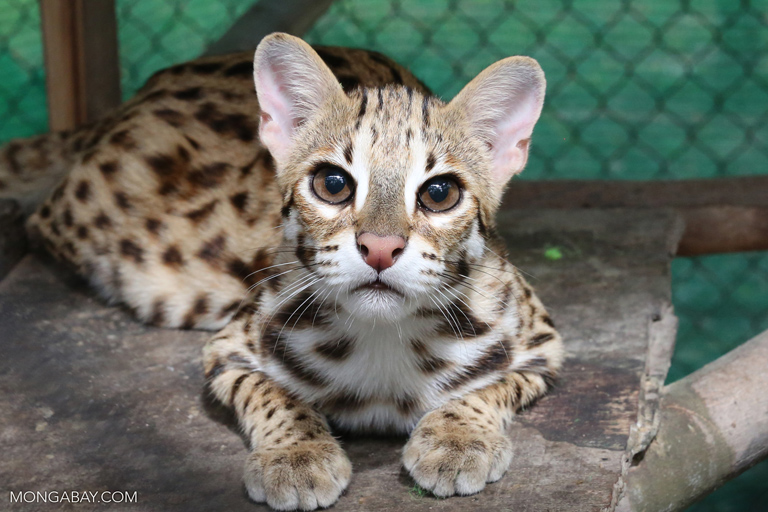 Rescued leopard cat