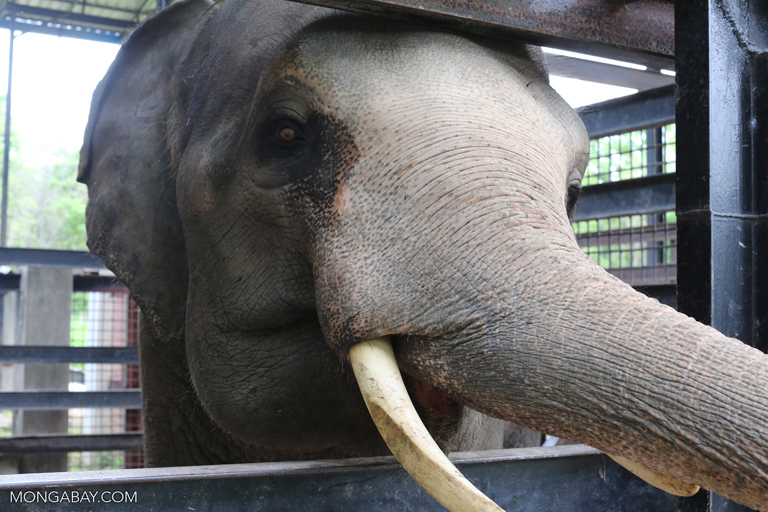 Rescued elephant in Cambodia