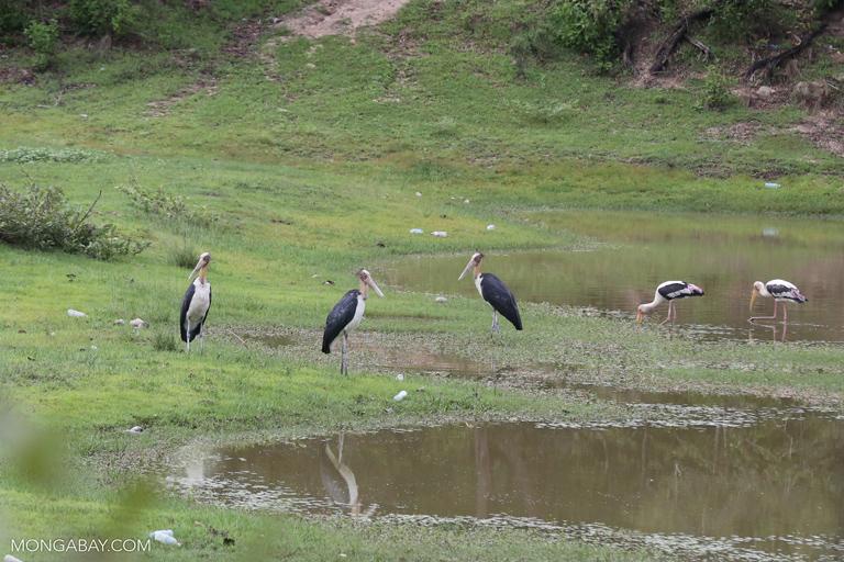 Painted stork (Mycteria leucocephala) and Lesser adjutant (Leptoptilos javanicus)