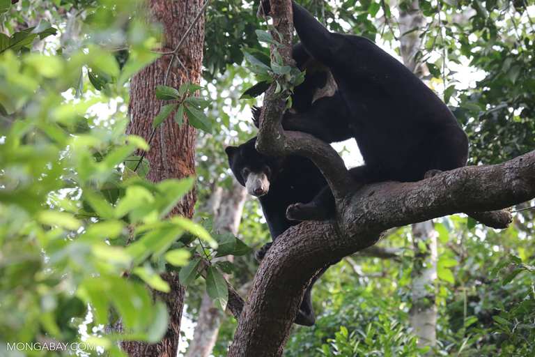 Pair of sun bears in Cambodia