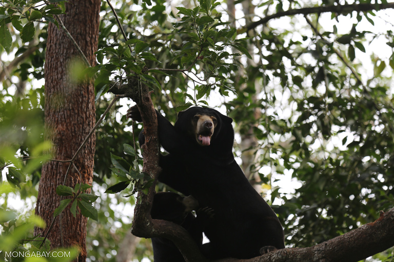 Pair of sun bears in a tree