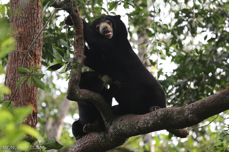 Pair of sun bears in a tree