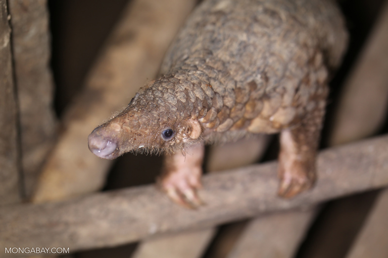 A pangolin at a rescue center in Cambodia. Photo by Rhett A. Butler.