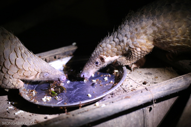Pangolins being fed ants at a rescue center