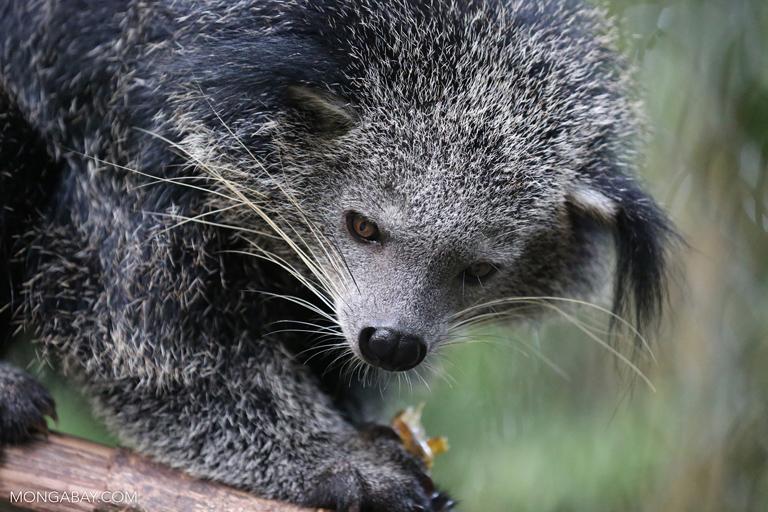 Bearcat (Arctictis binturong)