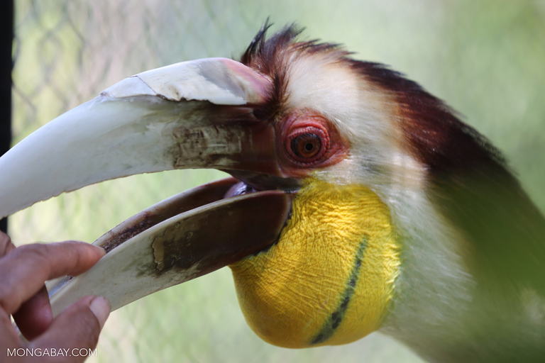 Wreathed hornbill at a rescue center