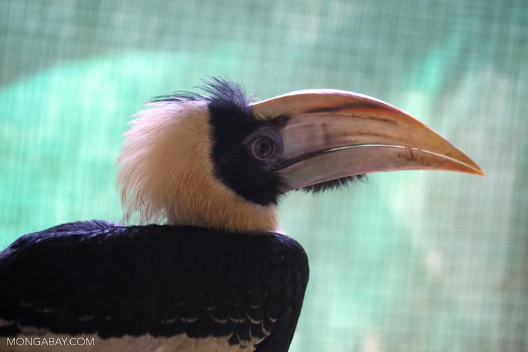 Juvenile great hornbill (Buceros bicornis)