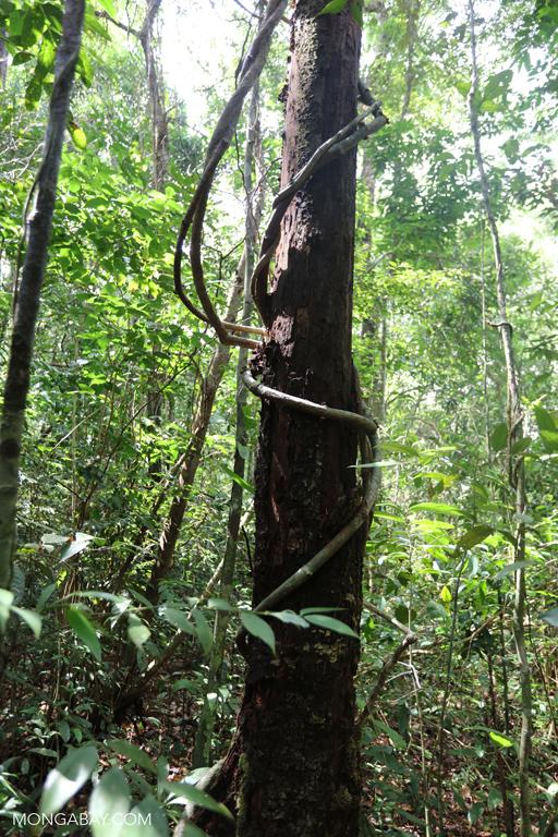Lianas around a tree trunk