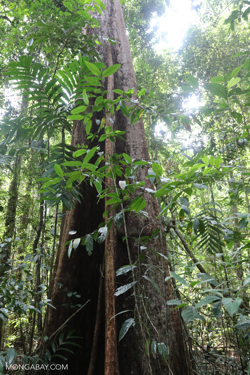 Rainforest tree in the Southern Cardamom Mountains
