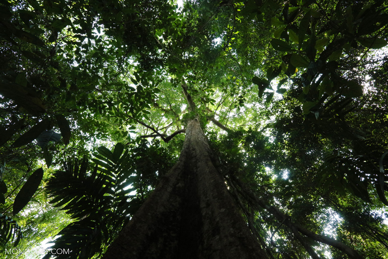 Looking up the trunk of a rainforest tree in the Southern Cardamom Mountains