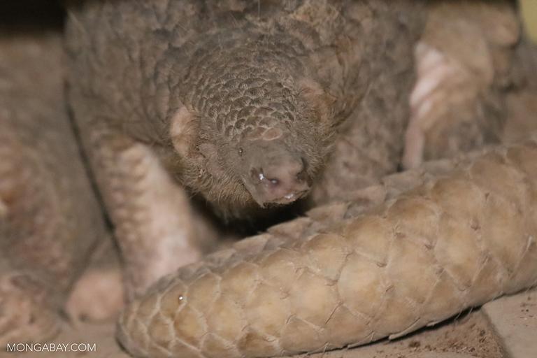 Sleeping pangolin