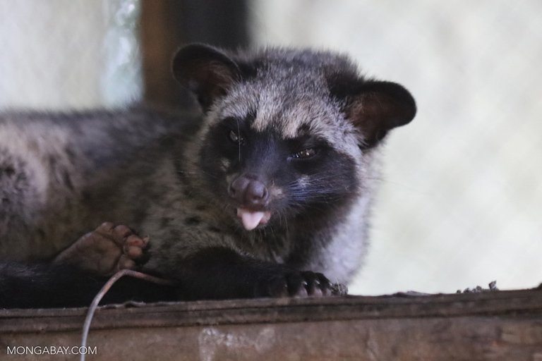 Palm civet with its tongue out