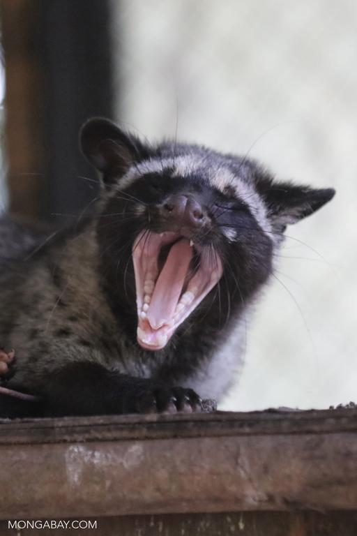 Palm civet yawning