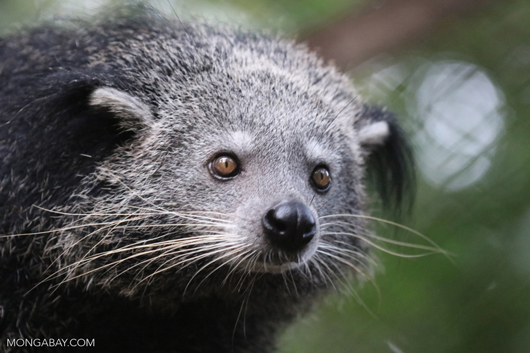 Prey Lang is home to binturongs (Arctictis binturong), also known as the bearcats. They are listed as Vulnerable by the IUCN, and one of their primary threats is habitat loss caused by logging. Image by Rhett Butler/Mongabay.