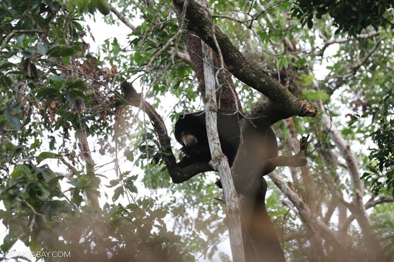 Sun bear climbing a tree