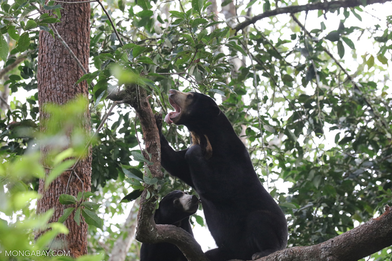 Sun bears in a tree