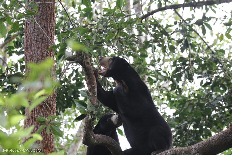 Sun bears in a tree