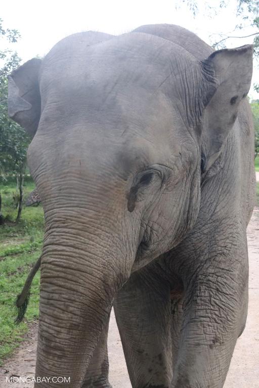 Asian elephant at Phnom Tamao Wildlife Rescue Centre