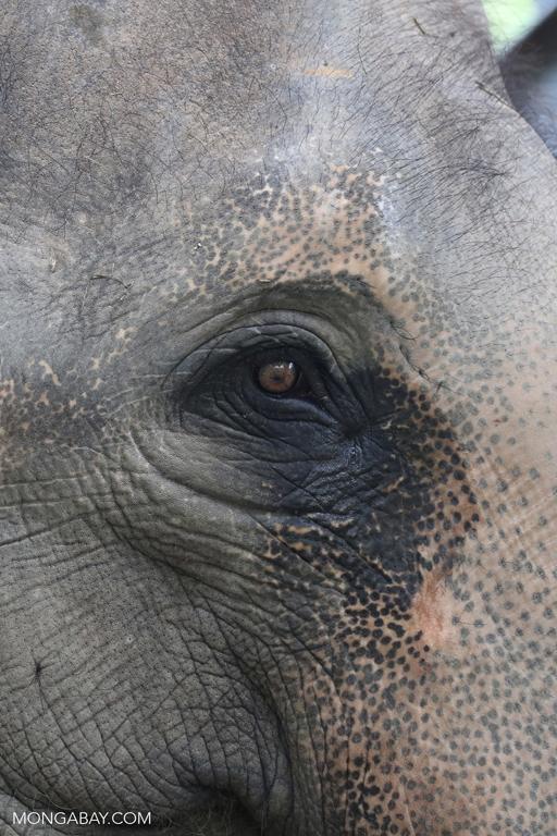 Asian elephant in Cambodia