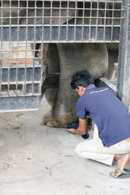 Fitting an elephant with a prosthetic foot