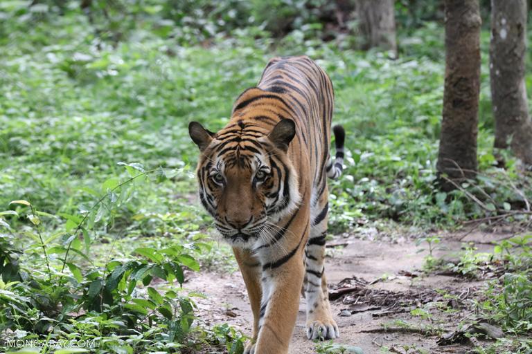 Tiger in Cambodia