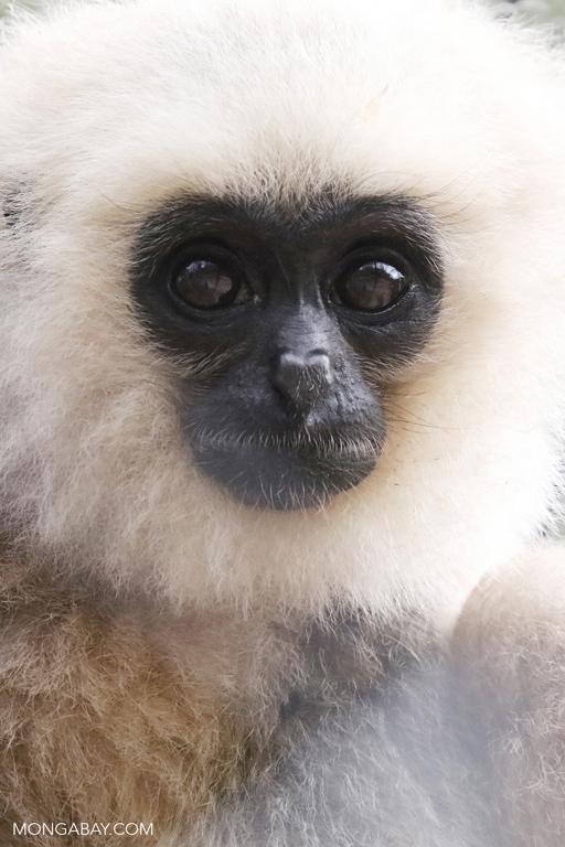 Pileated gibbon (Hylobates pileatus)