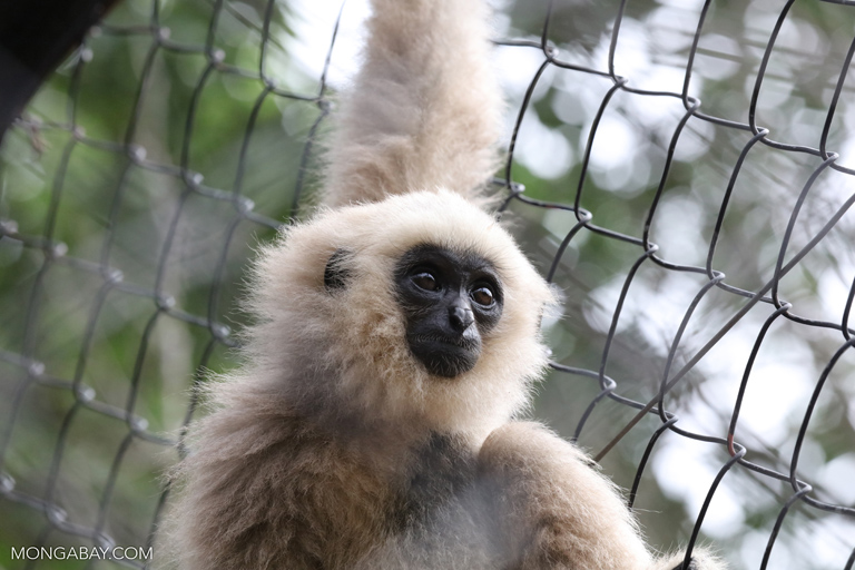 Pileated gibbon at a rescue center