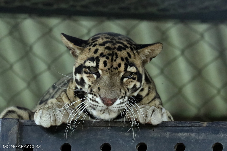 Clouded leopard at Phnom Tamao