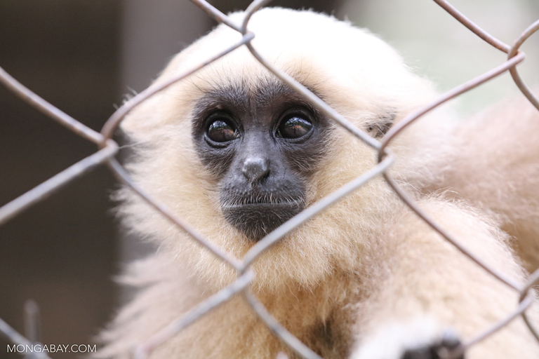 Pileated gibbon at Phnom Tamao