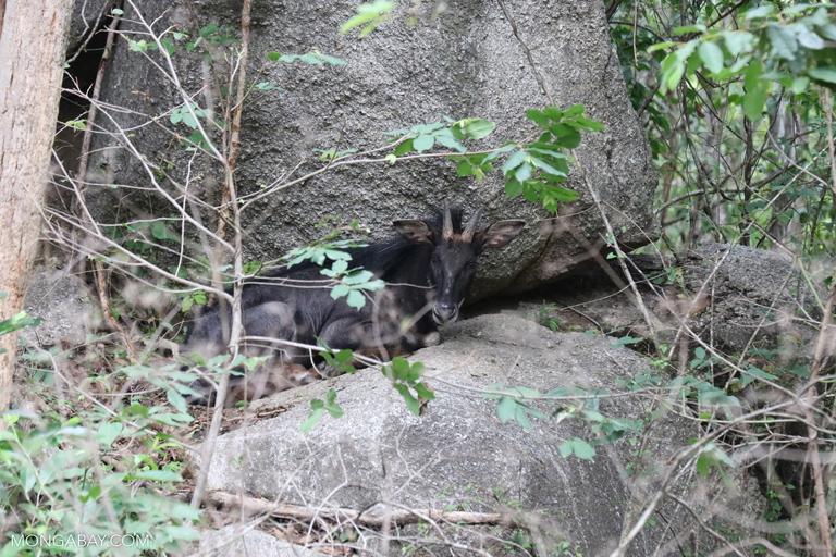 Sumatran serow (Capricornis sumatraensis)