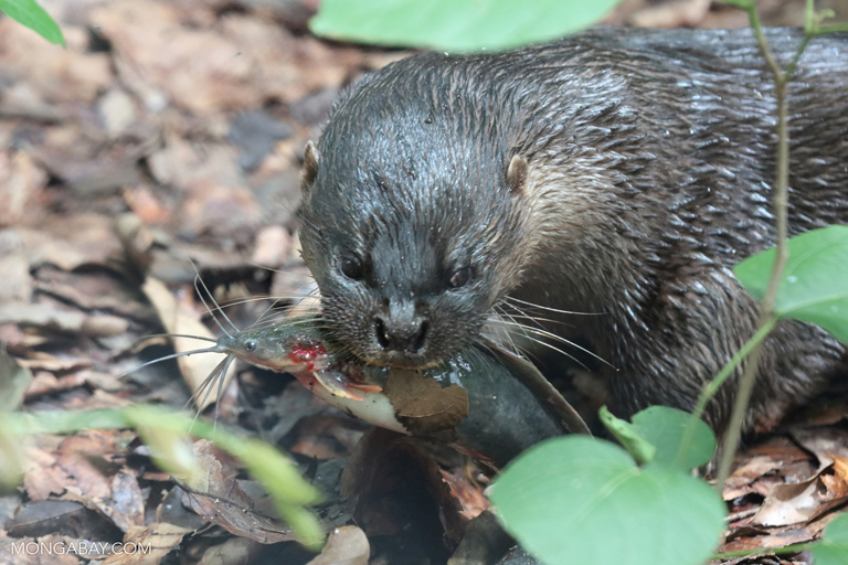 Hairy-nosed otter (Lutra sumatrana) eating a fish