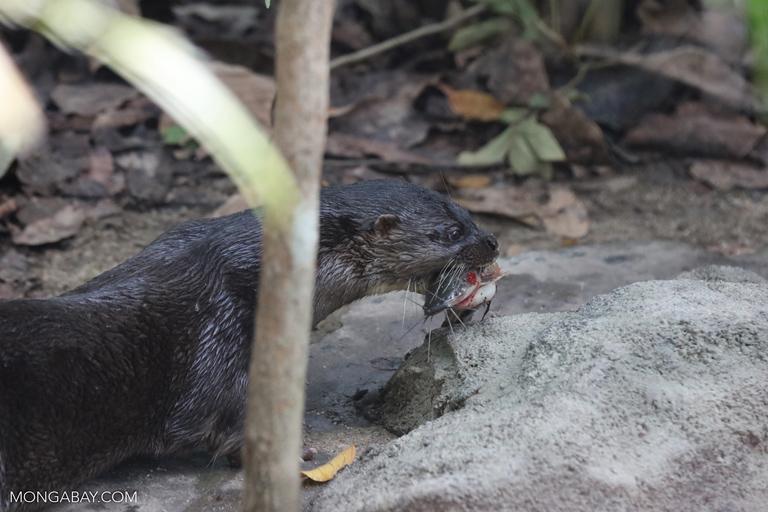 Hairy-nosed otter (Lutra sumatrana) eating a fish