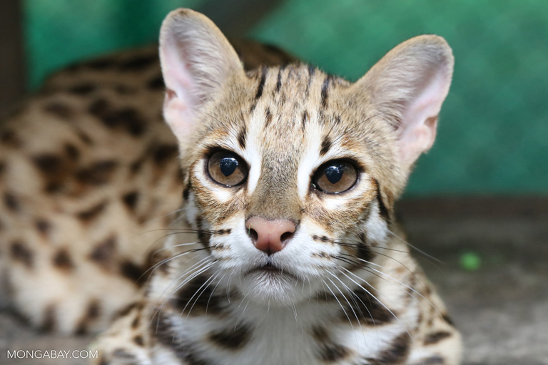 Leopard cat at a rescue center