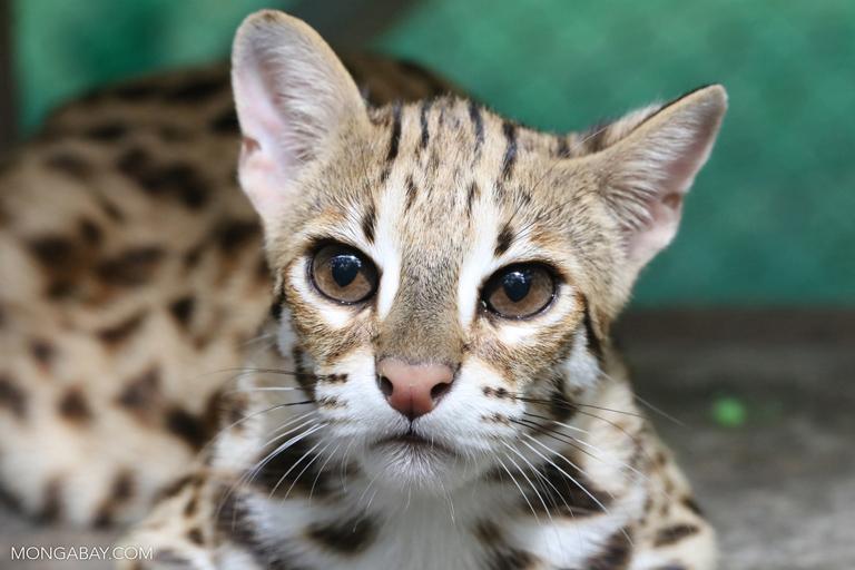 Leopard cat at a rescue center