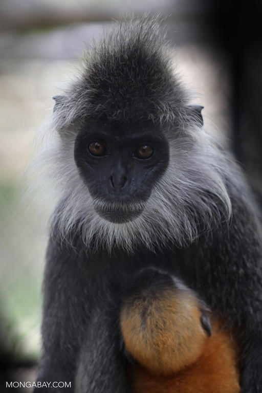 Indochinese lutung (Trachypithecus germaini)