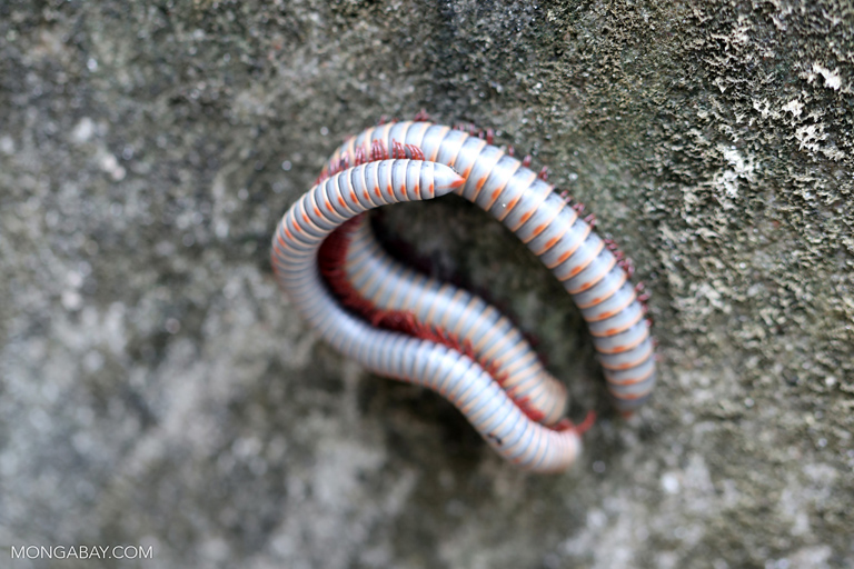 Millipedes mating