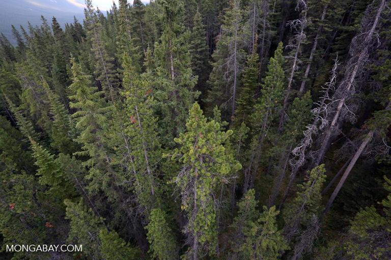 Banff forest