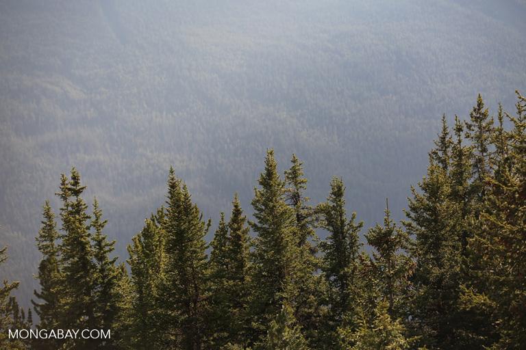 Forest atop Sulphur Mountain