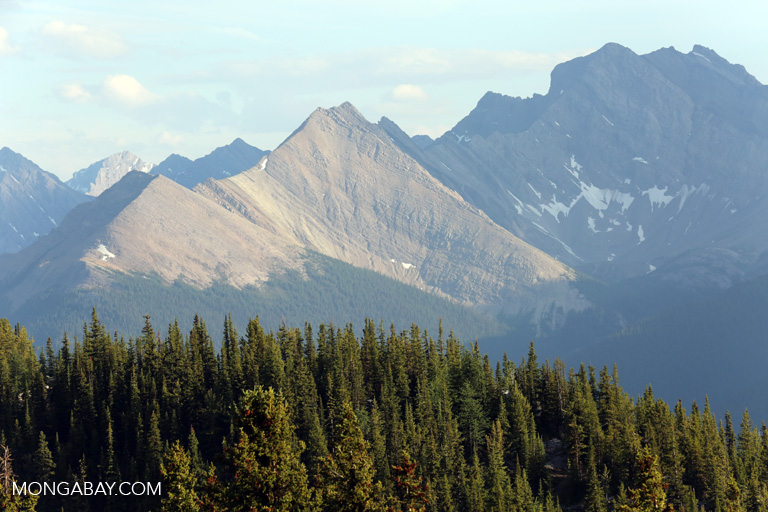 Forest atop Sulphur Mountain