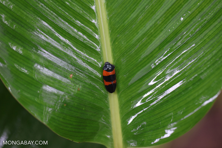 Orange and black insect