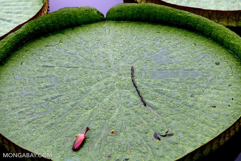 Victoria water lilies at XTBG