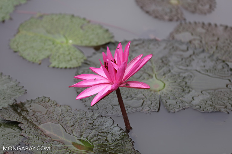 Pink lotus flower (Nymphaea pubescens)