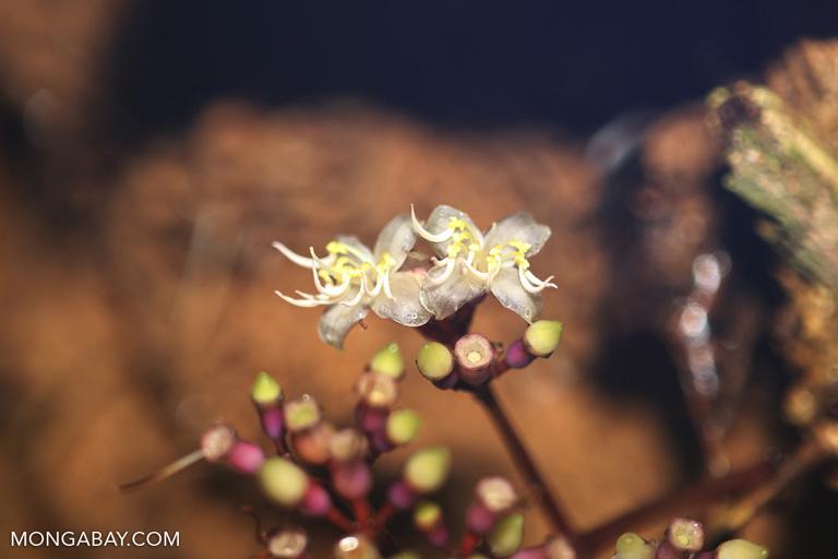 Melostomaceae flowers