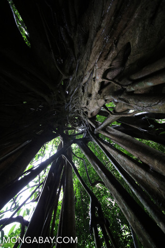 A view up inside the trunk of a strangler fig in China