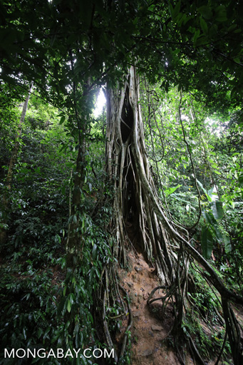 Strangler fig in China