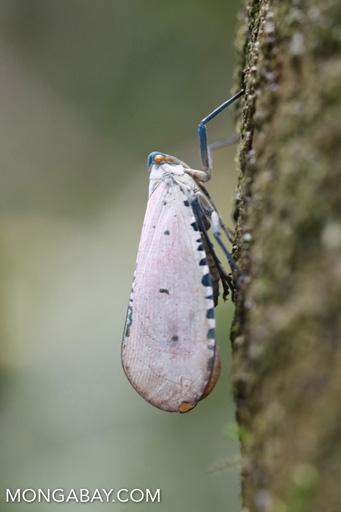 White planthopper with orange eyes